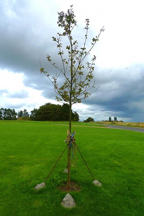 Egetræ med opbinding